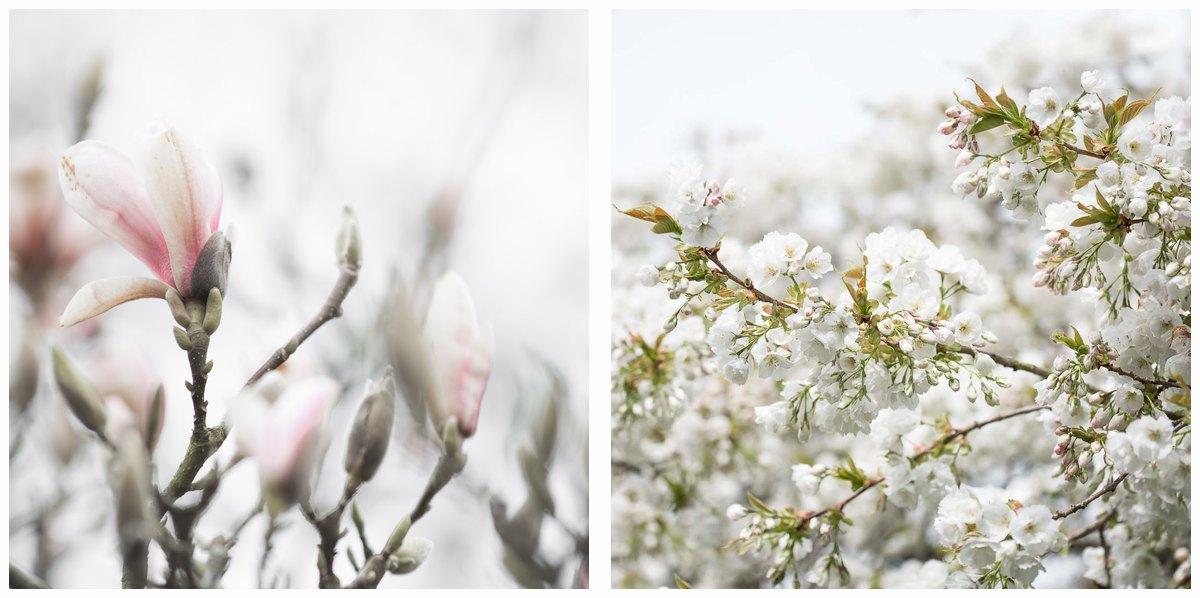 Spring cheery blossom magnolia