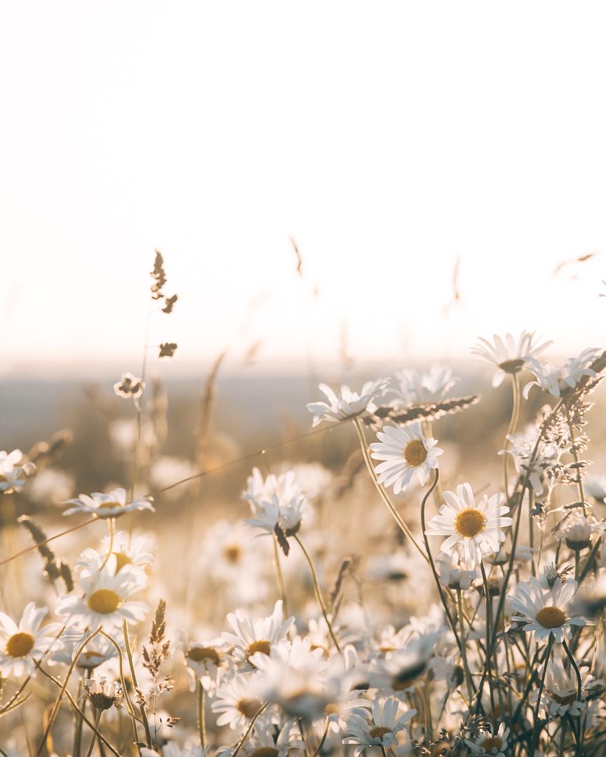 golden daisies