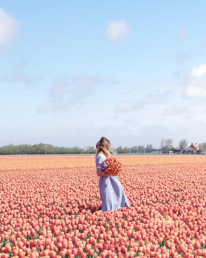 tulip fields in Lisse