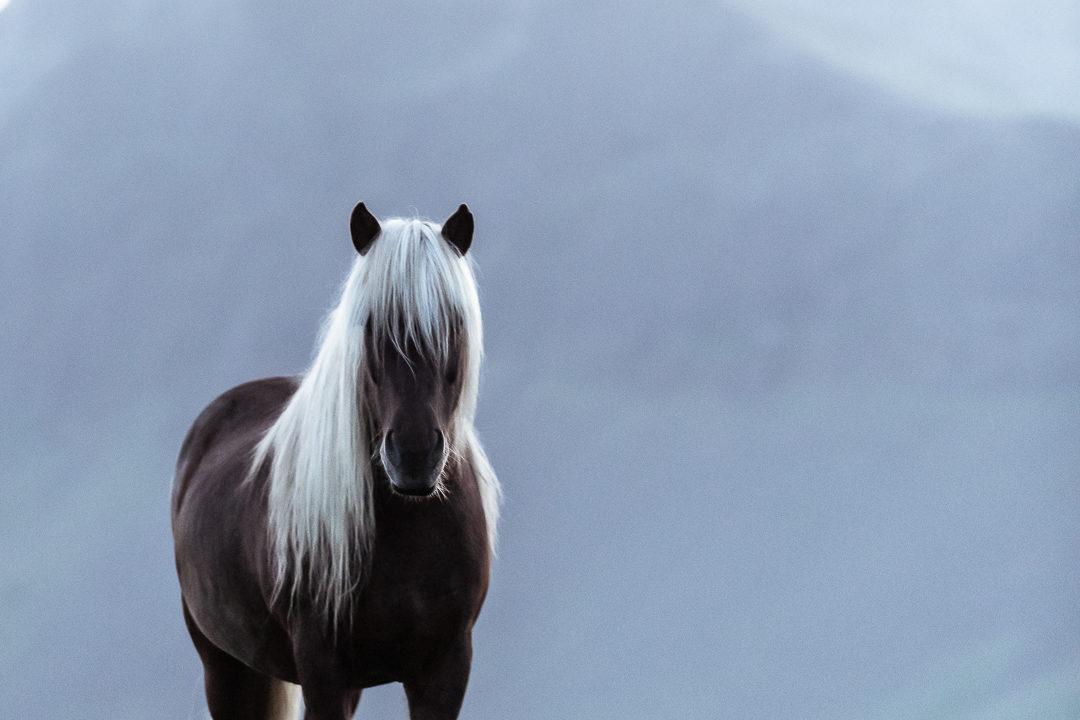 Icelandic horse in the midnight sun