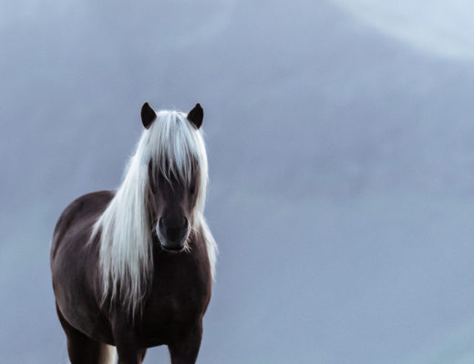 Icelandic horse in the midnight sun